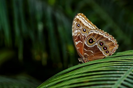 Wildlfife photography - Owl butterfly in conservatory.