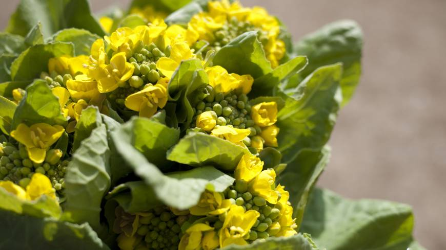 Vernal treasure: Closely related to broccoli, nanohana is best eaten in spring, when its buds are yellow-green.