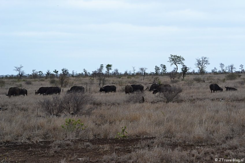 Buffels in het Kruger National Park in Zuid-Afrika