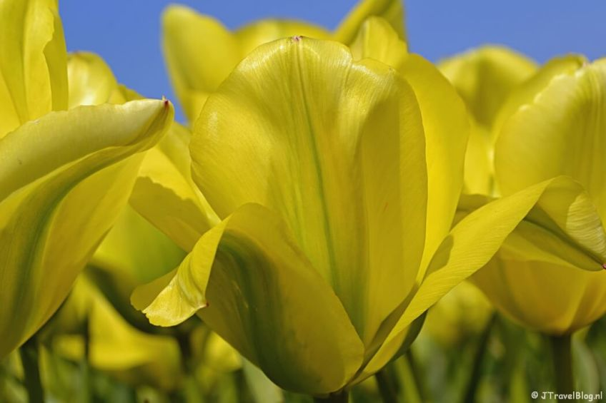 Tulpenveld in De Zilk