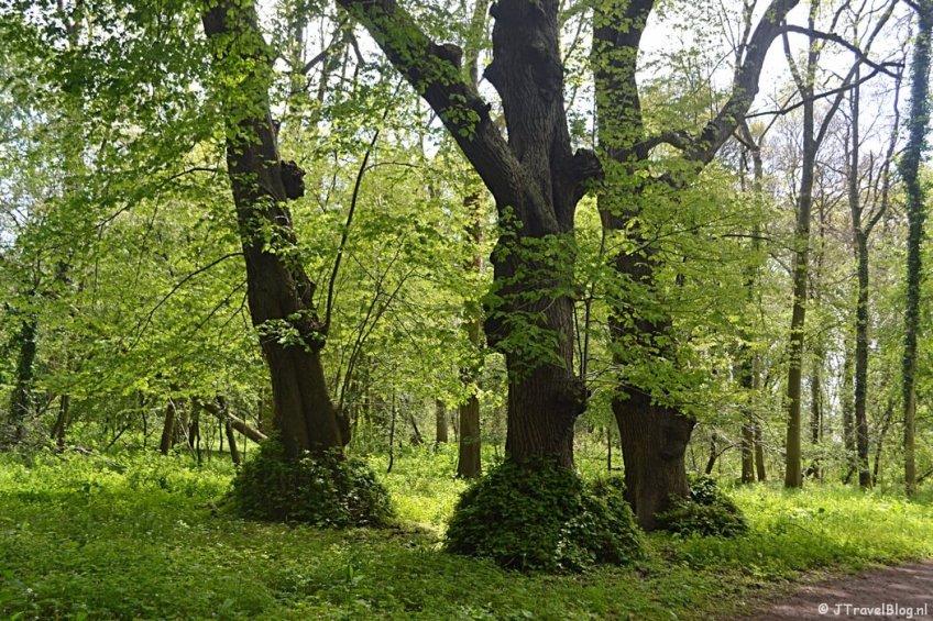 De drie lindebomen in Wandelbos Groenendaal in Heemstede