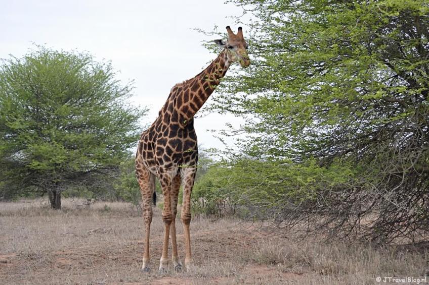 Een giraffe in het Kruger National Park