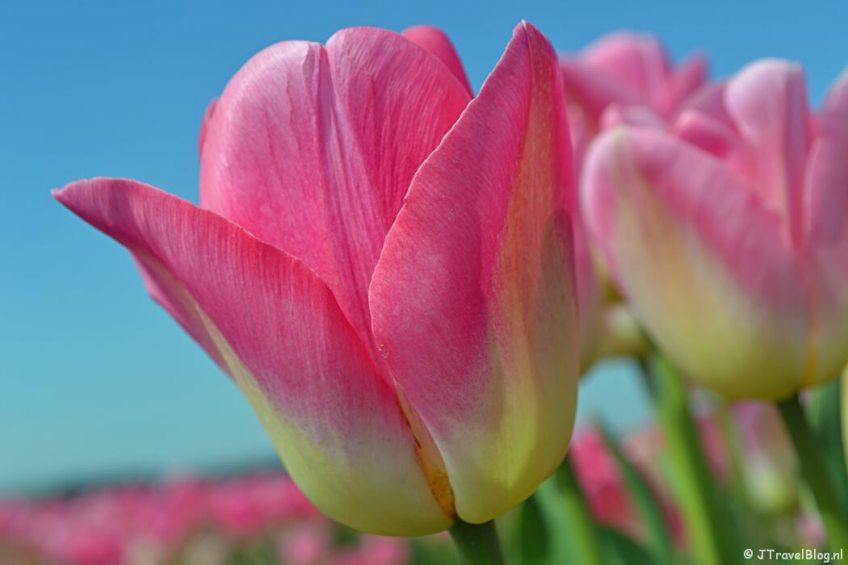 Een roze tulp aan de 3e Loosterweg in Hillegom tijdens de Bollenstreekwandeling rond De Zilk