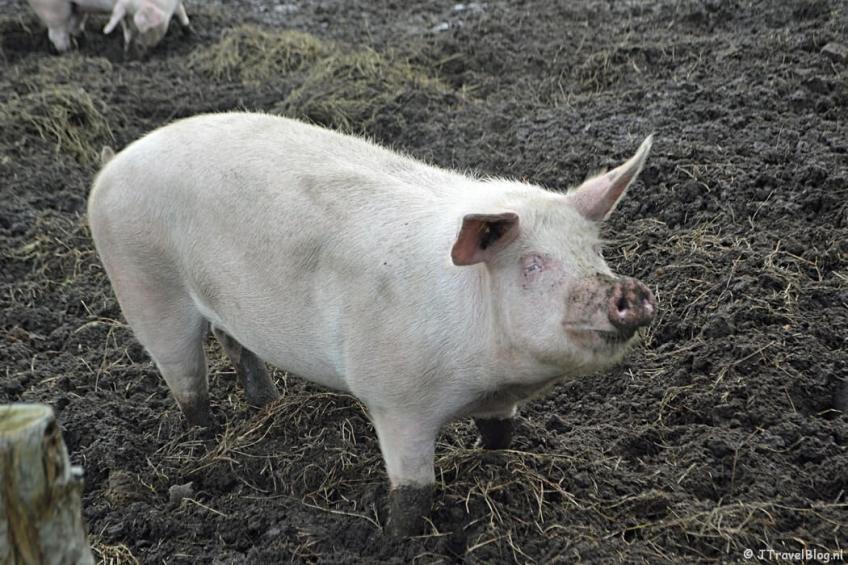 Een varken onderweg tussen Weesp en Muiden tijdens de 3e etappe van het Westerborkpad