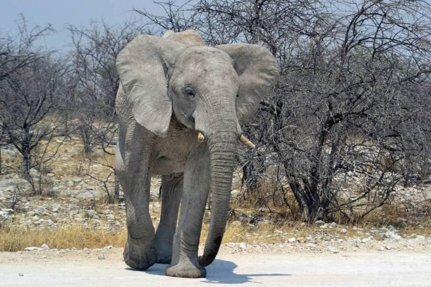 Een olifant in Etosha National Park