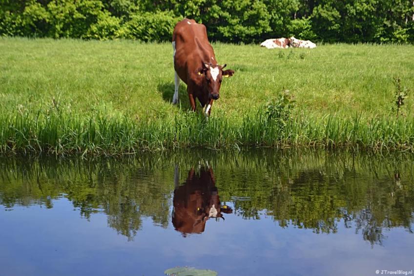Koeien onderweg tijdens mijn kabouterwandeling over Landgoed Keukenhof