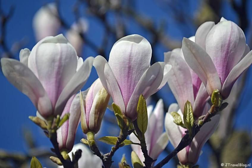 Magnolia in april 2019