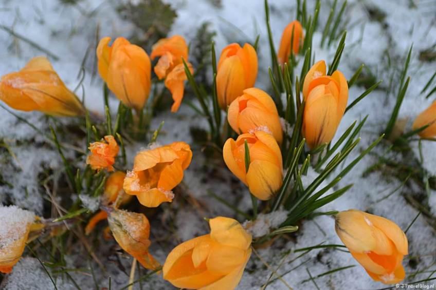 Oranje krokussen in de sneeuw