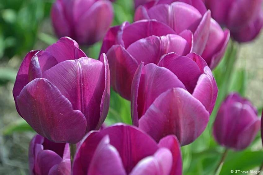 Paarse tulpen aan de Veenenburgerlaan op weg naar het beginpunt van de Trage Tocht Lisse