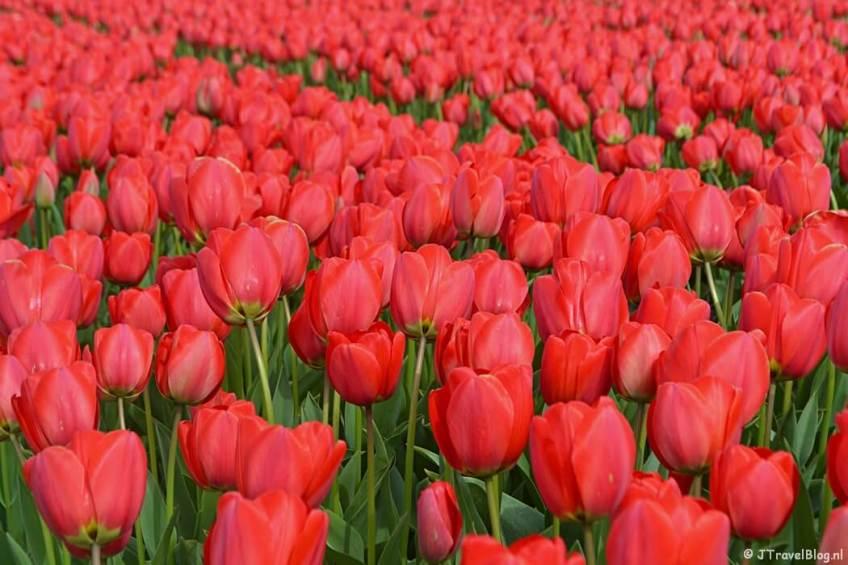 Rode tulpen aan de Loosterweg-Zuid tijdens de Trage Tocht Lisse