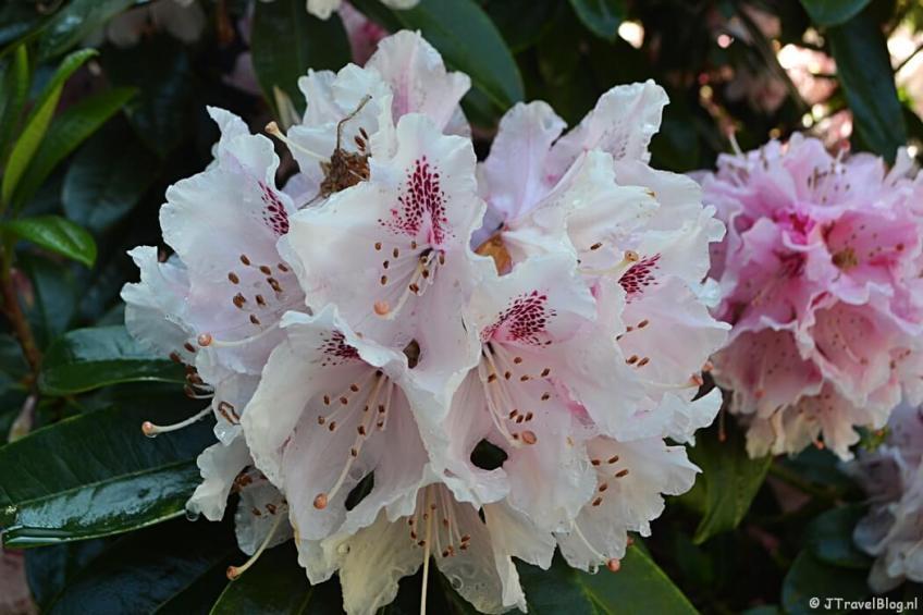 Rododendron in de kasteeltuin van Kasteel Keukenhof
