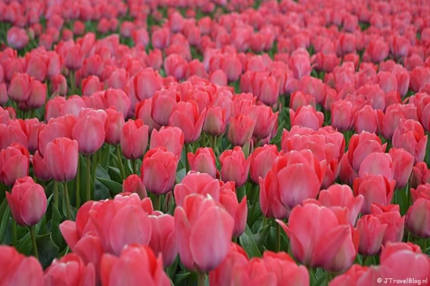 Roze tulpen aan de Zilkerbinnenweg tijdens de Bollenstreekwandeling rond De Zilk