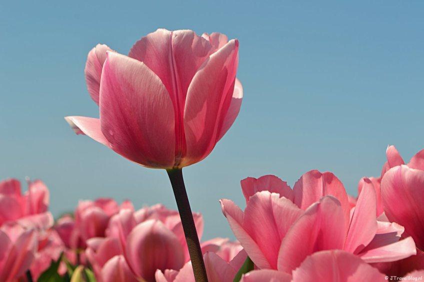 Thuis Wandelen-Tag: Fietsen en genieten van de bloeiende bollenvelden