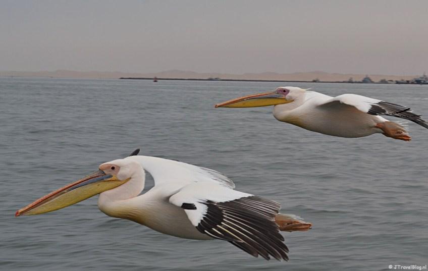 Meevliegende pelikanen tijdens de boottocht bij Walvis Bay