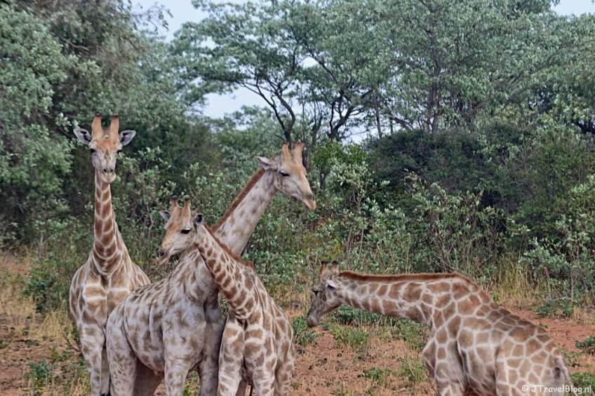 Giraffes in het Waterberg Plateau National Park
