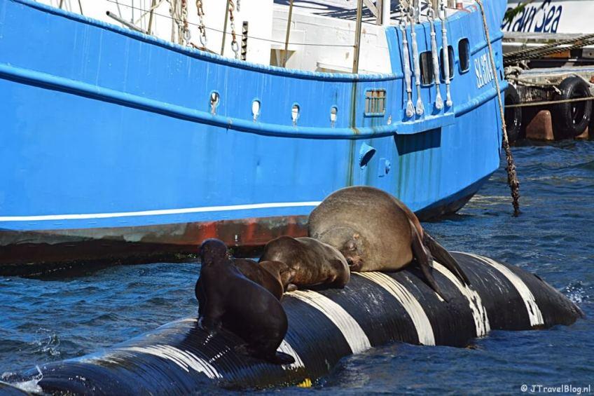 Zeehonden in de haven van Houtbaai op het Kaapse Schiereiland in Zuid-Afrika