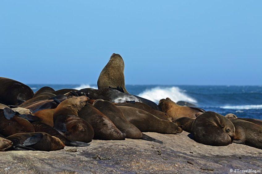 Pelsrobben op Duikereiland op het Kaapse Schiereiland in Zuid-Afrika