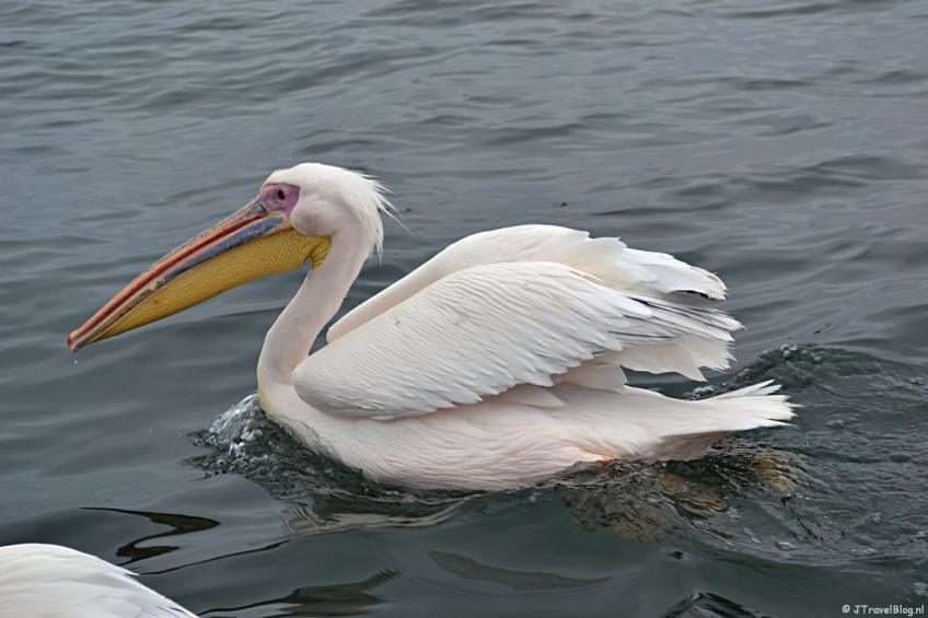 Een pelikaan tijdens de boottocht in Walvis Bay op dag 14 van mijn 22-daagse rondreis door Zuid-Afrika en Namibië