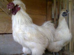 Ayam-Kapas-Indukan.jpg