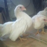 Ayam Serama Betina Galeri Foto Ayam Serama Jual Ayam Hias HP : 08564 77 23 888 | BERKUALITAS DAN TERPERCAYA Galeri Foto Ayam Serama Galeri Foto Ayam Serama Terbaru Serta Cara Pemeliharaan Ayam Serama yang Baik dan Benar