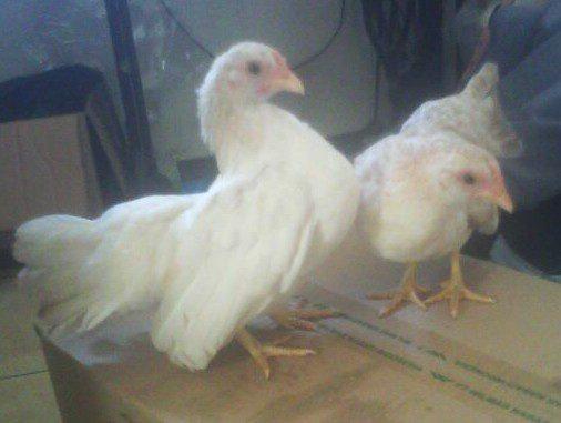 wpid img 20140506 wa0000 1 Ayam Serama Umur 5 Bulan untuk Bu Eny di Cengkareng Jual Ayam Hias HP : 08564 77 23 888 | BERKUALITAS DAN TERPERCAYA Ayam Serama Umur 5 Bulan untuk Bu Eny di Cengkareng Ayam Serama Umur 5 Bulan untuk Bu Eny di Cengkareng