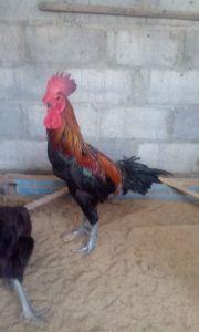 Cara Memilih Indukan Ayam Pelung Yang Berkualitas
