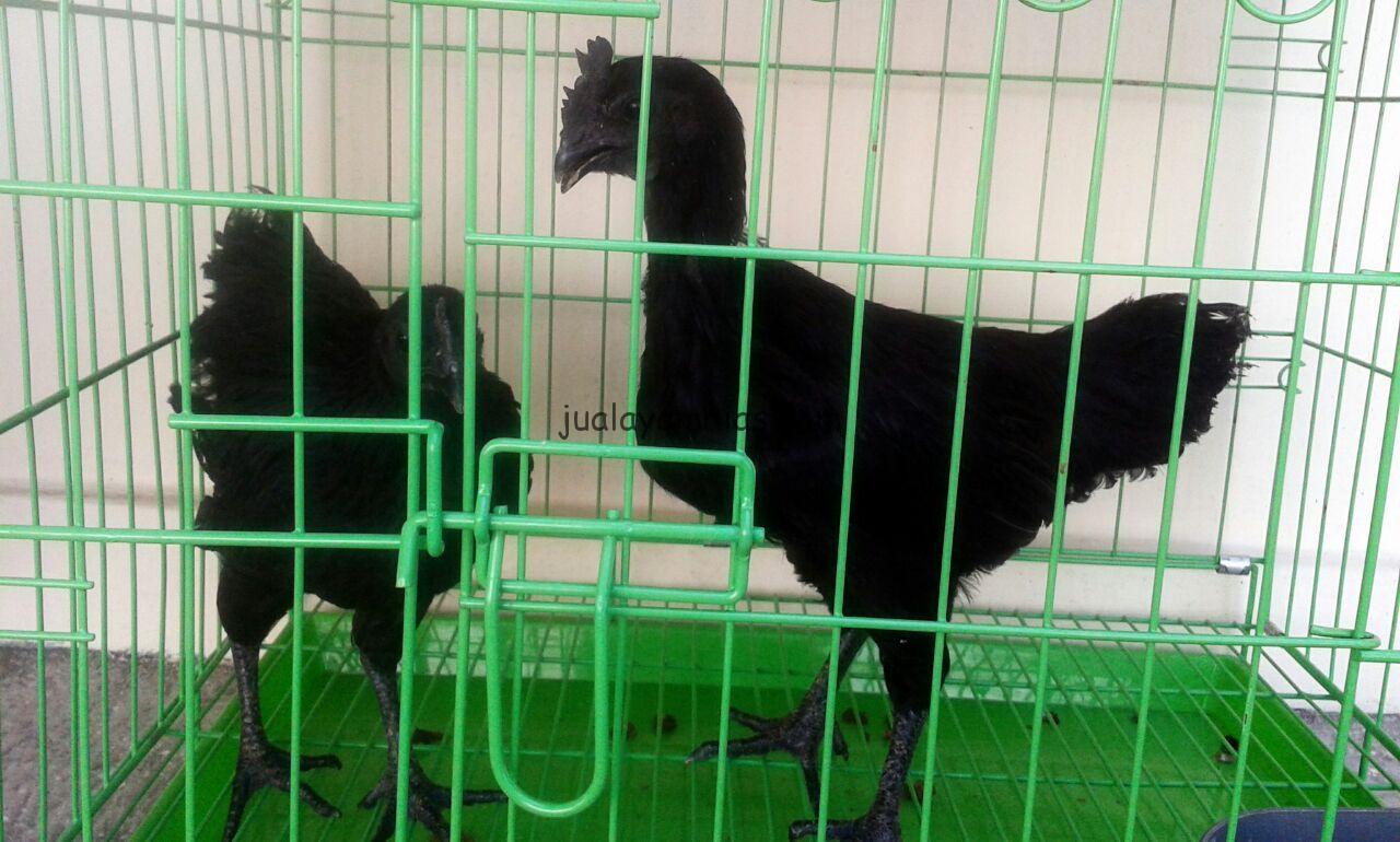 Ayam Cemani dalam kandang besi