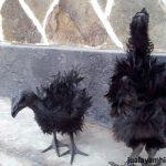 Ayam Cemani Walik Umur 4 Bulanan 1  Jual Ayam Hias HP : 08564 77 23 888 | BERKUALITAS DAN TERPERCAYA  Galeri Foto