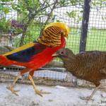Harga Ayam Golden Pheasent