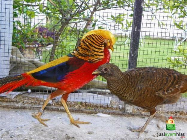 Ayam pheasant memiliki produktivitas yang cukup baik salah satunya golden pheasant ini