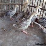 Ayam Kalkun Bronze Umur 1 Bulan 2 1  Jual Ayam Hias HP : 08564 77 23 888 | BERKUALITAS DAN TERPERCAYA  Galeri Foto
