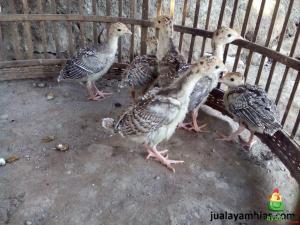Ayam Kalkun Bronze Umur 1 Bulan 2 1 Jual Ayam Hias HP : 08564 77 23 888 | BERKUALITAS DAN TERPERCAYA Pengiriman Ayam Hias Pesanan Pak Yudha di Kelapa Gading