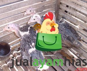 Ayam Kalkun Bronze Umur 2 Bulan Pesanan Bapak Edo di Palembang