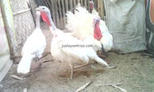 Ayam Kalkun Putih Indukan