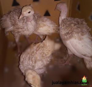 Ayam Kalkun Self Buff Turkey Umur 2,5 Bulan