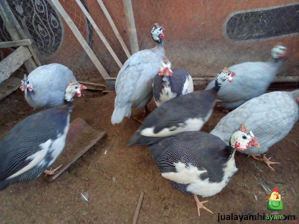 Ayam Mutiara Plangkok dan Mutiara Silver Dewasa