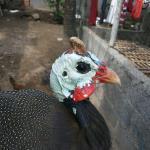 Ayam Mutiara Umur 5 Bulan 2 1  Jual Ayam Hias HP : 08564 77 23 888 | BERKUALITAS DAN TERPERCAYA  Galeri Foto