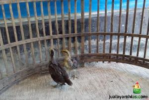 Ayam Phoenix Umur 1 Bulan Pengiriman Ayam Phoenix Pesanan Pak Hasan di Serang Banten Jual Ayam Hias HP : 08564 77 23 888 | BERKUALITAS DAN TERPERCAYA Pengiriman Ayam Phoenix Pesanan Pak Hasan di Serang Banten Pengiriman Ayam Phoenix Pesanan Pak Hasan di Serang Banten