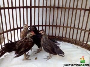 ayam phoenix ekor panjang