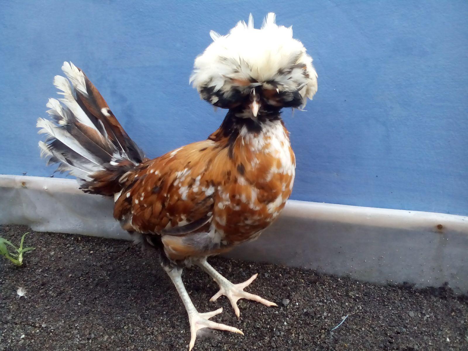Ayam Poland Image