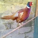 Ayam Ringneck Pheasent Dewasa 4  Jual Ayam Hias HP : 08564 77 23 888 | BERKUALITAS DAN TERPERCAYA  Galeri Foto