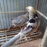 Ayam Yellow Pheasent Dewasa 6  Jual Ayam Hias HP : 08564 77 23 888 | BERKUALITAS DAN TERPERCAYA  Galeri Foto