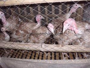 Ayam kalkun Coklat 4,5 bulan
