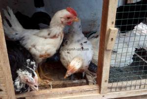 Gallery Ayam Ketawa