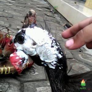 Kepala Ayam Mutiara Dewasa