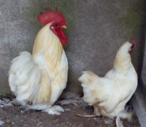 Ayam Cochin Berbulu Unik dari Negeri Tirai Bambu China