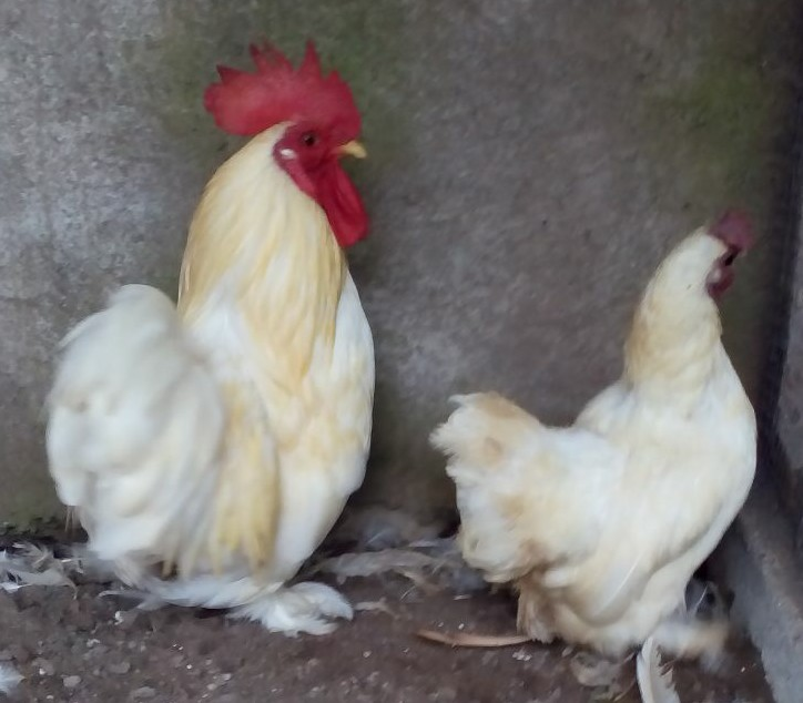 Ayam Chocin Indukan Dewasa