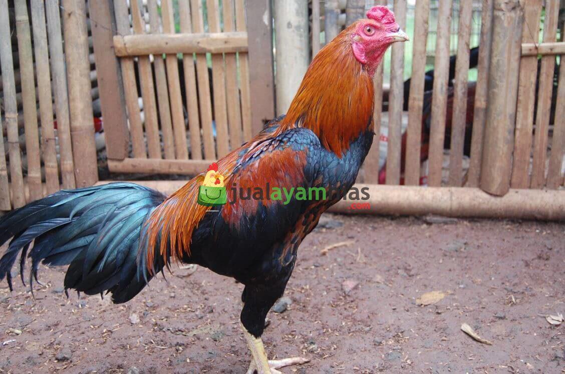 Ayam Bangkok Dewasa Jantan 2 1 Ternak Ayam Bangkok Jual Ayam Hias HP : 08564 77 23 888 | BERKUALITAS DAN TERPERCAYA Ternak Ayam Bangkok Ternak Ayam Bangkok