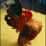 Ayam Serama Kontes Berjenis Kelamin Jantan