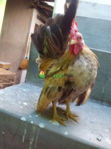 Ayam Serama Umur 5 Bulan